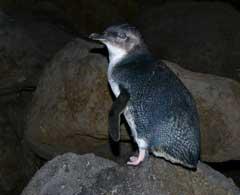 St Kilda Penguin
